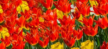 Large flower bed with red and yellow tulips in the park. Stock Images