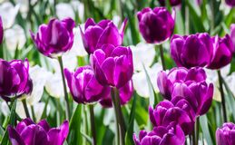 Large flower bed with white and lilac tulips in the park. Stock Photo