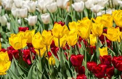 Large flower bed with white, red and yellow tulips in the park. Royalty Free Stock Images