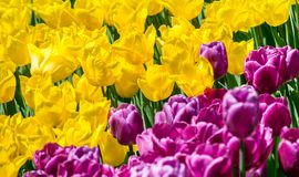 Large flower bed with yellow and lilac tulips in the park. Stock Photography