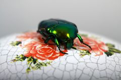 The large flower beetles royalty free stock photos