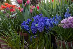 Large flower Bouquet with blue hyacinths, traditional easter flowers, flower background. selective focus stock photo