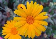 Large flower of calendula. Large orange flower of calendula officinalis stock photos