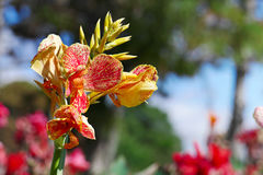 Large flower canna. On background flowerbed stock image