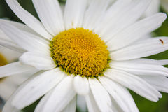 Large flower chamomile. Large daisy flower with white petals Royalty Free Stock Photo