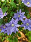 Large flower Clematis. Plant, blossom stock photos
