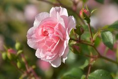A large flower of a delicate pink rose. With open petals on a bush covered with buds and green leaves royalty free stock photography