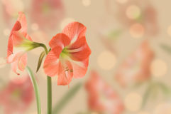 Large flower Hippeastrum, design. Royalty Free Stock Image