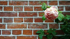 Large flower pale pink peony on a background of beautiful brick walls. The flower on the right. Left a lot of space stock image