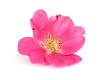 Large flower pink wild rose Royalty Free Stock Images