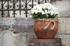 Large flower pot with white chrysanthemums. Sale of flowers stock image