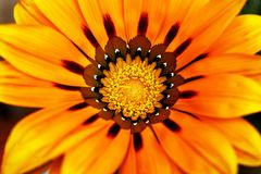 Large flower with a stamen and pollen, close up Royalty Free Stock Images