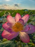 Blooming lotus. A large flower. Summer dawn. royalty free stock photo