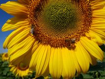 Large flower of sunflower with bees. Large flower of a sunflower with bees Royalty Free Stock Photography
