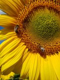 Large flower of sunflower with bees. Large flower of a sunflower with bees Stock Photography