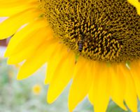 A large flower of a sunflower on which a bee has sat down. A large flower of a yellow sunflower on which a bee has sat down royalty free stock photo