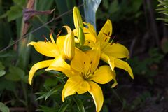 Large flower yellow daylilies. Large flower garden plants yellow day Lily stock image