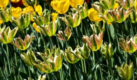 A large flowerbed with green tulips in the park is a rare sight. Stock Photo