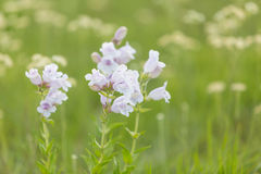 Large Flowered Beardtongue Royalty Free Stock Photos