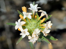 A Large-flowered Collomia Blooming in the Desert Stock Photos