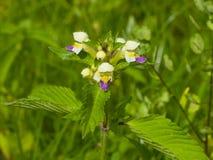 Large-flowered Hemp-nettle or Edmonton hempnettle, Galeopsis Speciosa, plant with flowers on bokeh background. Selective focus, shallow DOF Royalty Free Stock Image