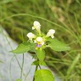 Large-flowered Hemp-nettle or Edmonton hempnettle, Galeopsis Speciosa, plant with flowers on bokeh background. Selective focus, shallow DOF Royalty Free Stock Photo