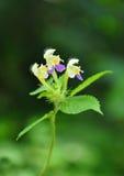 Large-flowered hemp-nettle (Galeopsis speciosa) Royalty Free Stock Photos