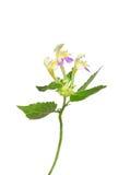 Large-flowered hemp-nettle (Galeopsis speciosa) Royalty Free Stock Photo