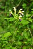 Large-flowered hemp-nettle (Galeopsis speciosa) Royalty Free Stock Image