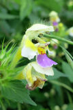 Large-flowered Hemp-nettle (Galeopsis speciosa) Royalty Free Stock Photography