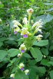 Large-flowered Hemp-nettle (Galeopsis speciosa) Stock Photos