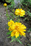 Large-flowered tickseed (Coreopsis grandiflora) Stock Image