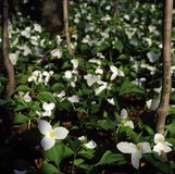Large flowered Trillium grandiflorum Royalty Free Stock Image