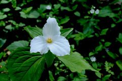 Large Flowered Trillium Stock Image