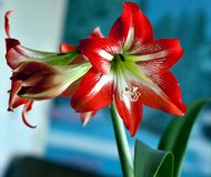 Large flowering amarillis or Hippeastrum. Large flowering Hippeastrum or amarillis, flowers on the windowsill Stock Photography