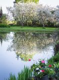 Large flowering apple trees with a reflection stock photography