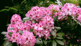 Large flowering azaleas flowers in the garden. Royalty Free Stock Photography
