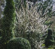 A large flowering bush of Nanking cherry or Prunus Tomentosa on the background of an evergreen garden. stock images