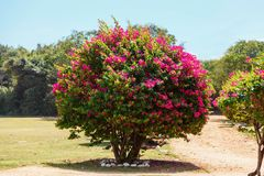 Large flowering Bush with pink flowers. In gadren. natural background Stock Image