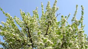 Large flowering pear tree on the background of blue sky. Large flowering pear tree on background of blue sky stock video