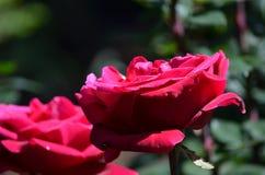Large Flowering Red Rose Garden in Full Bloom Royalty Free Stock Image