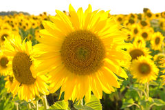 Large flowering sunflower on a field close up. Royalty Free Stock Photography