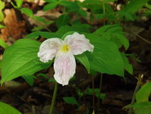 Large-flowering Trillium - Trillium grandiflorum Stock Photo