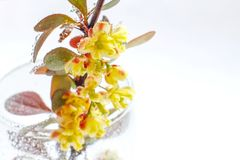Large flowers of barberry with water drops on a light background. Close-up. Selective focus stock photos