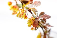 Large flowers of barberry with water drops on a light background. Close-up. Selective focus stock photography