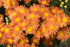 Large flowers of a large number of orange chrysanthemums on a green background of leaves. Large flowers of many orange chrysanthemums on a green background of Stock Photography
