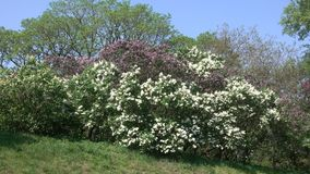 Large flowers of lilacs. Bloom in the botanical garden in the spring close-up stock video footage