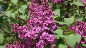 Large flowers of lilacs bloom. In the botanical garden in the spring close-up stock footage