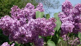 Large flowers of lilacs bloom. In the botanical garden in the spring close-up stock video