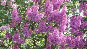 Large flowers of lilacs bloom. In the botanical garden in the spring close-up stock video footage